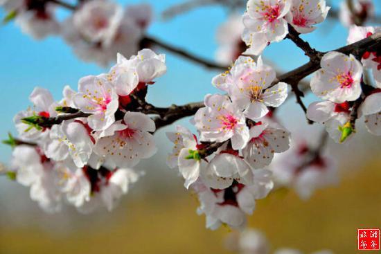 2016泥河湾杏花节在哪里_2016泥河湾杏花节好玩吗