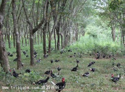高峰貴妃雞 - 景點展示