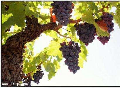 葡萄采摘 - 景点展示