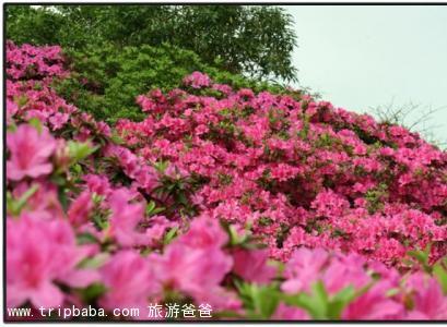杜鹃花 - 景点展示