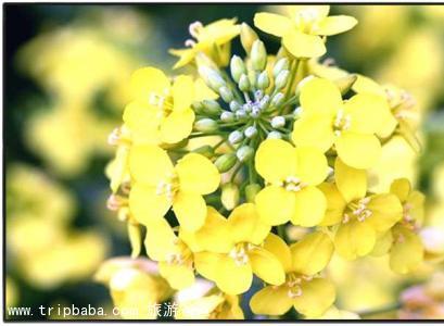 山重油菜花 - 景點展示