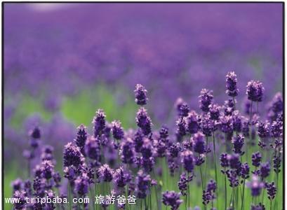 薰衣草 - 景點展示