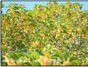 桂花 - 景点展示