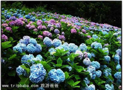绣球花 - 景点展示