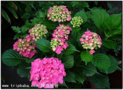 繡球花 - 景點展示
