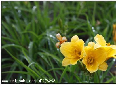 黄花菜 - 景点展示