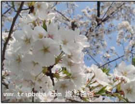 樱花 - 景点展示