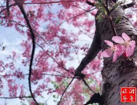 【周末赏花】漳平永福樱花+特色全鱼宴浪漫踏青一日游[2月23.24日]